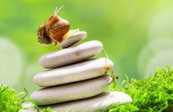 Deux escargots sur la pile des cailloux luttent pour le premier endroit Photo stock