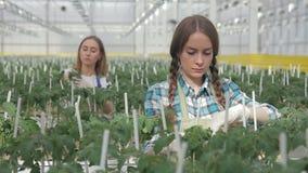 Deux femmes attachent la tomate de buissons se tenant en serre chaude à l'intérieur Ils lie doucement banque de vidéos