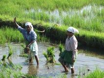 Deux femmes indiens dans des rizières après tsunami Image stock