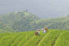 Deux femmes travaillant dans des domaines de riz Image libre de droits