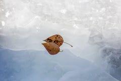 Deux feuilles congelées de jaune se trouvant à la glace Image libre de droits