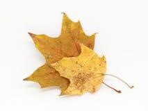 Deux feuilles d'érable Photographie stock