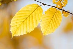 Deux feuilles d'automne de yellowl Photographie stock libre de droits
