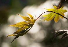 Deux feuilles d'automne jaunes Photographie stock libre de droits