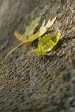 Deux feuilles d'automne jaunes sur la pierre de fond Images stock