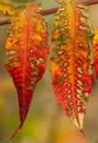 Deux feuilles d'automne lumineuses variées Images stock
