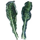 Deux feuilles noires fraîches de chou frisé d'isolement, illustration d'aquarelle Image libre de droits