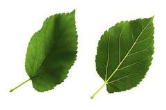 Deux feuilles vertes de mûre d'isolement du fond blanc, du côté dessus et bas du tract photo libre de droits
