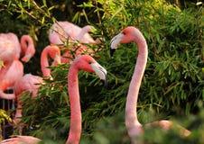 Deux flamants américains, femelle et mâle se montrant leur amour au milieu du parc Ils sont cachés avant d'autres photos stock