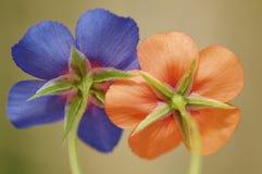 Deux fleurs Images stock
