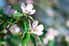 Deux fleurs blanc-roses sur une branche de coing Photographie stock libre de droits
