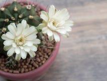 Deux fleurs blanches de cactus Photographie stock libre de droits