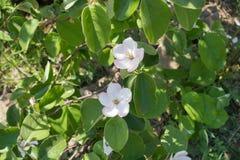 Deux fleurs blanches rosâtres de coing Photo stock