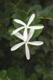 Deux fleurs blanches starlike images libres de droits