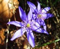 Deux fleurs bleues Photos stock