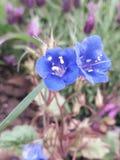 Deux fleurs bleues au printemps image stock