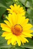 Deux fleurs d'arnica dans le jardin Photographie stock libre de droits