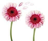 Deux fleurs d'isolement sur le blanc photographie stock