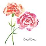 Deux fleurs d'oeillet d'aquarelle de style de croquis Photos libres de droits
