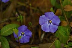 Deux fleurs de bigorneaux - Vinca Minor images libres de droits