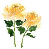 Deux fleurs de chrysanthème de jaune d'aquarelle de croquis Photo libre de droits
