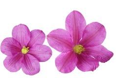 Deux fleurs de Clematis Image libre de droits