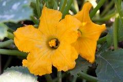 Deux fleurs de courgette dans le potager photos libres de droits