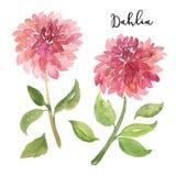 Deux fleurs de dahlia de rose d'aquarelle de style de croquis Photo stock