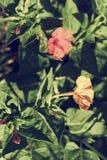Deux fleurs de gloire de matin dans le feuillage vert dense images libres de droits