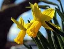 Deux fleurs de jonquille photographie stock libre de droits