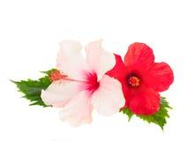 Deux fleurs de ketmie Photo stock