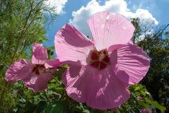Deux fleurs de ketmie au soleil Image libre de droits