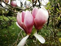 Deux fleurs de magnolia images libres de droits