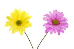 Deux fleurs de marguerite de Shasta : rose et jaune Image libre de droits