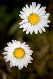 Deux fleurs de marguerites Image libre de droits