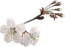 Deux fleurs et bourgeons de cerisier sur le blanc Photos libres de droits