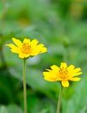 Deux fleurs et fonds jaunes de tache floue Photo stock