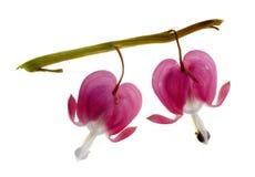 Deux fleurs fuchsia (de coeur de purge) Photo stock