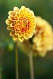 Deux fleurs jaunes Photo stock