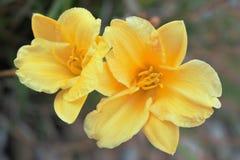 Deux fleurs jaunes Photo libre de droits