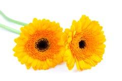 Deux fleurs jaunes de Gerber Photo stock