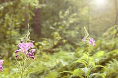 Deux fleurs pourpres dans la forêt et le soleil Photos libres de droits