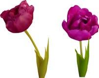 Deux fleurs pourpres de tulipe d'isolement sur le blanc Photos stock