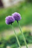 Deux fleurs rêveuses Photo libre de droits