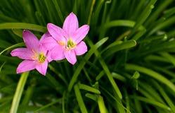 Deux fleurs roses Photographie stock