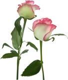 Deux fleurs roses avec le bord rose sur le blanc Image libre de droits