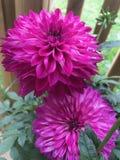 Deux fleurs roses de dahlia images stock