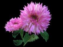 Deux fleurs roses de dahlia sur le noir images stock