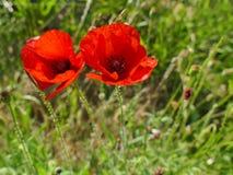 Deux fleurs rouges de pavot se ferment dans l'herbe verte Photos stock
