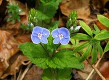 Deux fleurs sauvages de floraison de couleur bleu-clair avec de petits bourgeons et feuilles vert clair Image stock